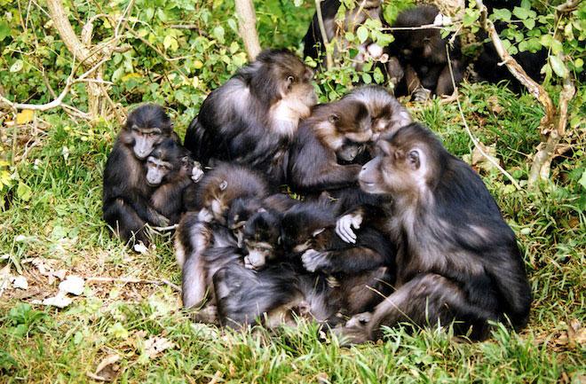 sempanzeler